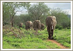One of the wild elephants with the ex orphans