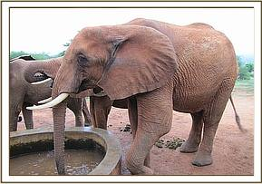 Laikipia having a drink