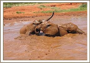 Rombo, Kivuko and Shimba mudbathing