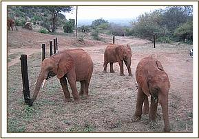 Shimba, Ndii and Kenia browsing at the stockade