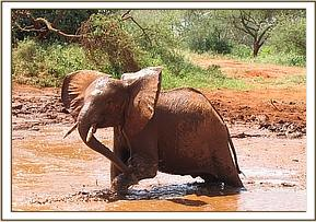 Shimba enjohying the mudbath