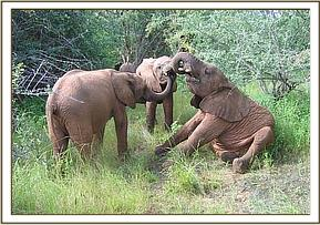 Sidai, Naserian & Sunyei communice with trunks