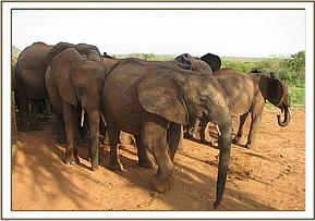 Ex orphans with a wild elephant