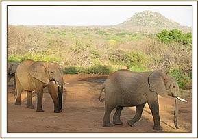 Yatta and junior wild elephant