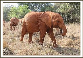 Godoma is the leader of the young herd now
