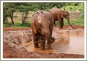 Boromoko in the mud bath