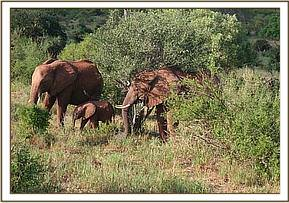 A wild cow with Mpenzi and her calf