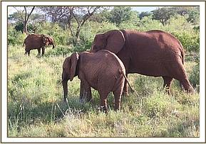 Salama joined by some wild eles