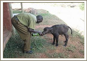 Baby Buffalo milk feeding at the stable complex
