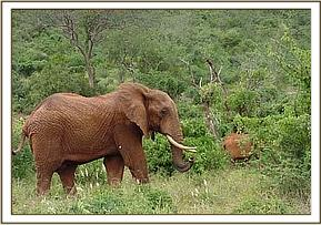 Dika feeding with Mweiga