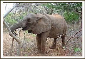 Mulika munching on a branch
