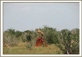 Cheetah having drunk at the waterhole