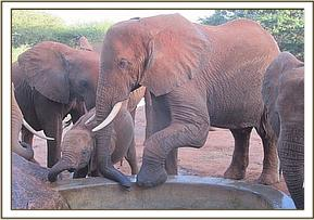 Laikipia stepping on the trough with Edie calf