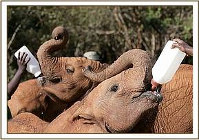 Kimana having his milk