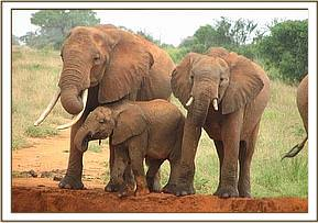 Elephant calf with its mother & Sister