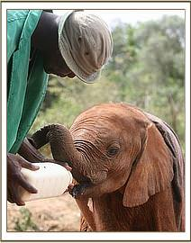 Turkwel drinking milk