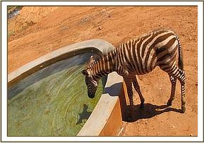 Orphan zebra drinking at the stockade