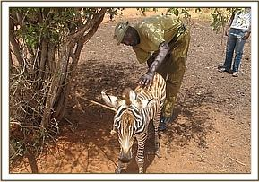 2nd orphaned zebra at Lualeni ranch