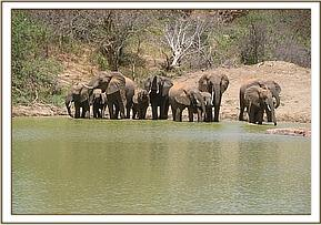 Wild elephants at the mudwallow