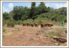 Elephants going into the bush