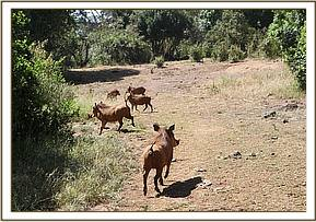 Warthogs disappearing fast