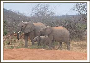 wild elephant with her babies