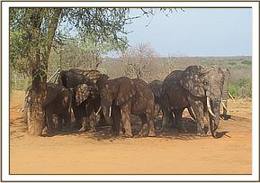 wild elephants & ex orphans at stockade