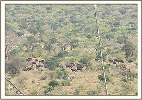 Big group of buffaloes grazing near the orphans