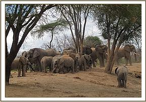 nine wild elephants joins the orphans at mud bath