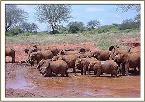 The Voi orphans taking their mid day mud bath