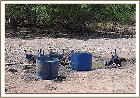 Guineafowl having a drink of water