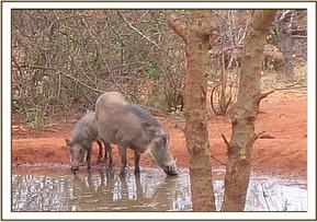 Warthogs having a drink of water at the stockades