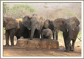 Wild elephants with babies at the water trough