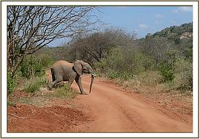 Wild elephant crossing the road