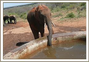 Kora having a drink