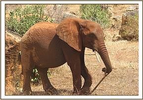 Mpala playing with a stick