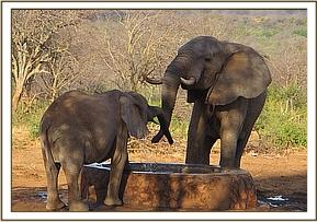 Naserian and a wild elephant drinking