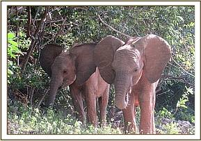 Lemoyian and Barsilinga browsing together