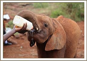 Teleki having milk