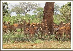 Impalas that had a drink at the orphans waterhole