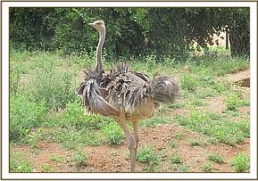 Orphan baby Ostrich