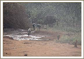Wild dogs visit the stockade water hole