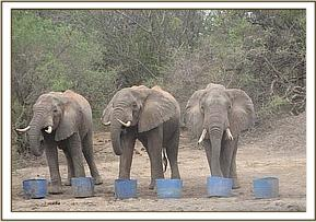 Wild elephants drinking water from the drums