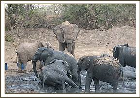 Wild elephant at the mudbath with the orphans