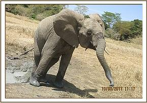 Murera coming out of the water hole