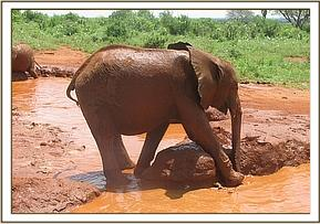 Shimba at the mudbath