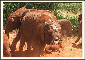 Lempaute digging soil with her little tusks