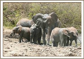 One tusked female at the mudbath with the orphans