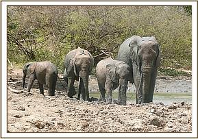 One tusked female and her calves