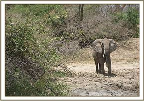 One tusked female elephant